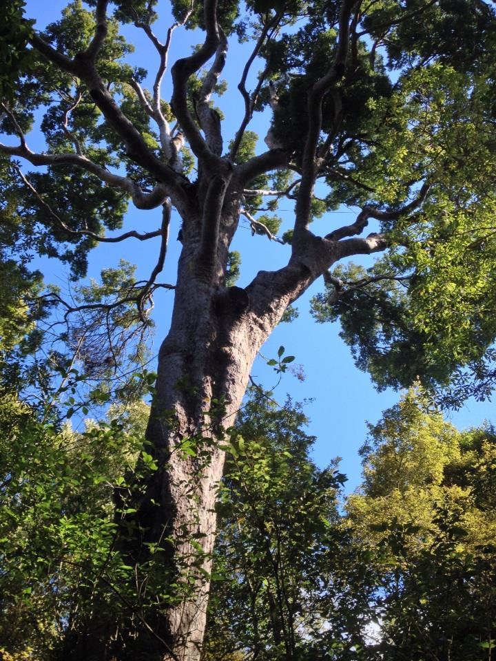 Image result for matai tree
